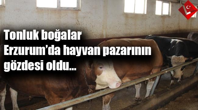 Tonluk boğalar Erzurum hayvan pazarının gözdesi oldu